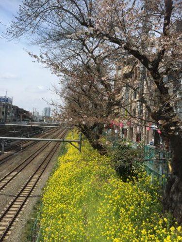 東響東中野駅菜の花とさくら